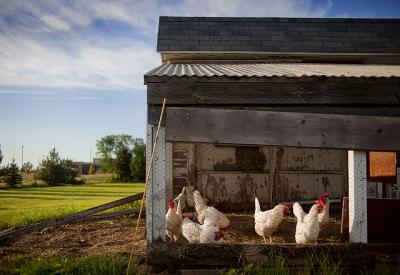 comment élever des poules pondeuses