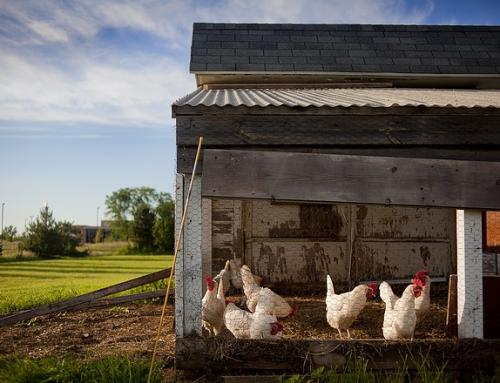 Des poules dans la cour!