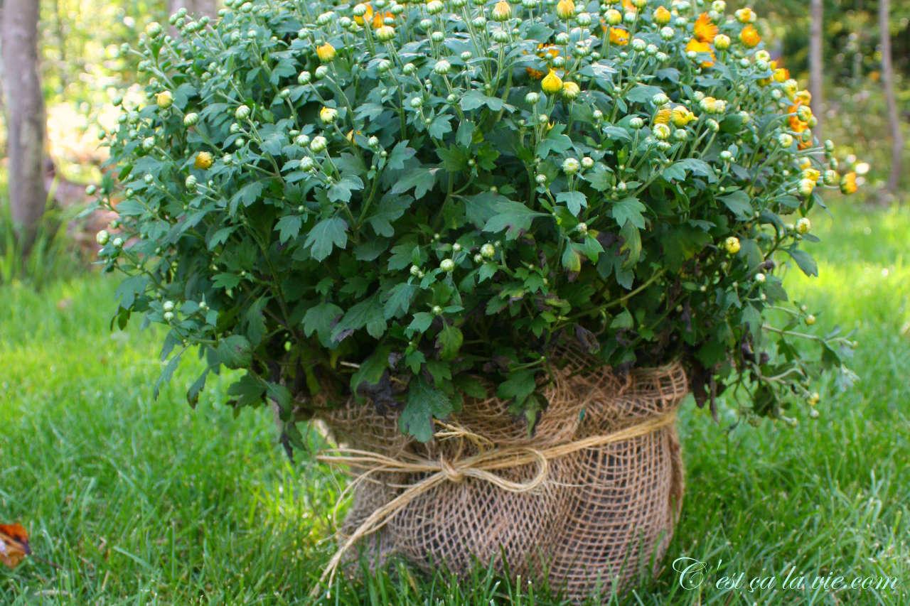 Pot de chrysanthème d'automne