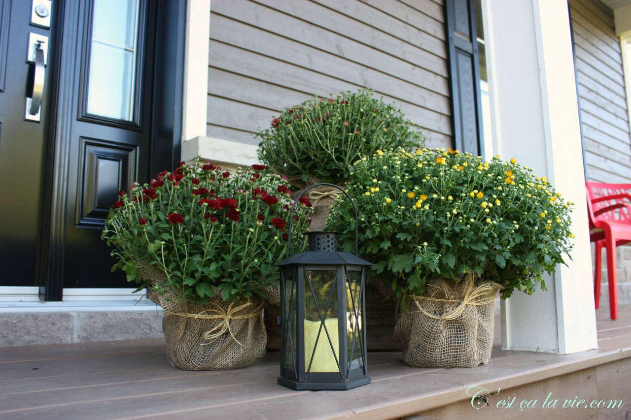 Pot de chrysanthèmes d'automne